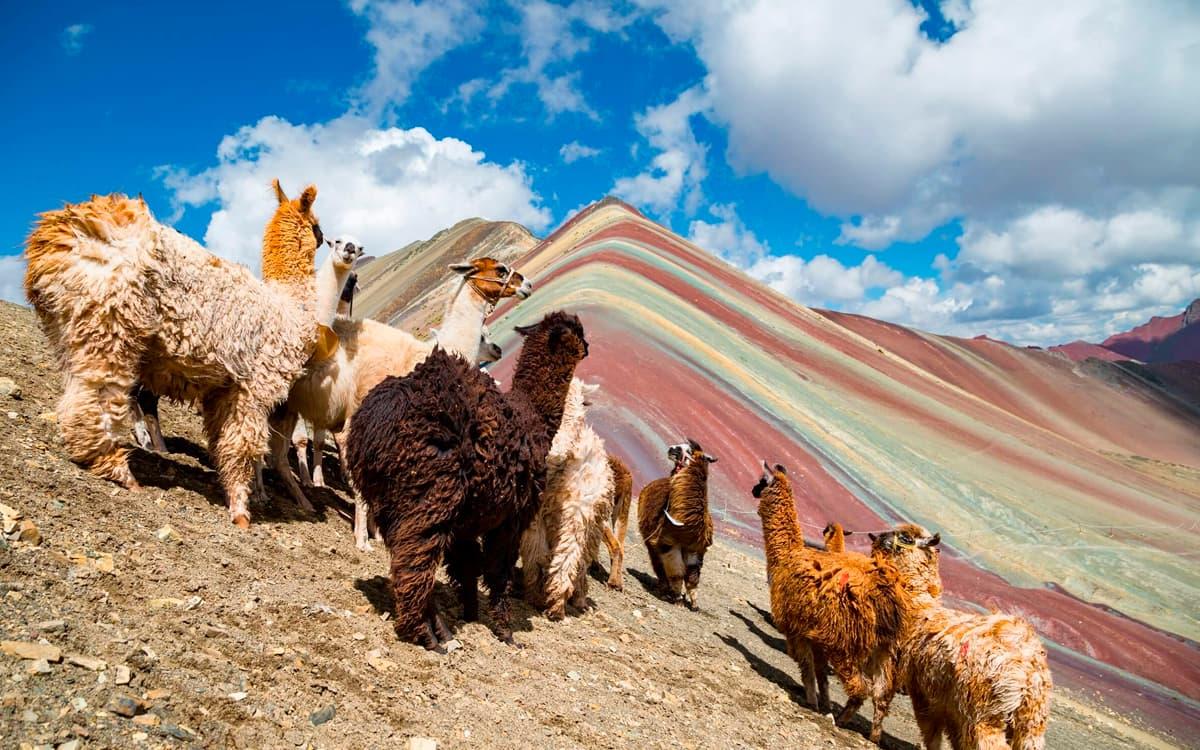 Alpacas-en-Montana-de-Colores